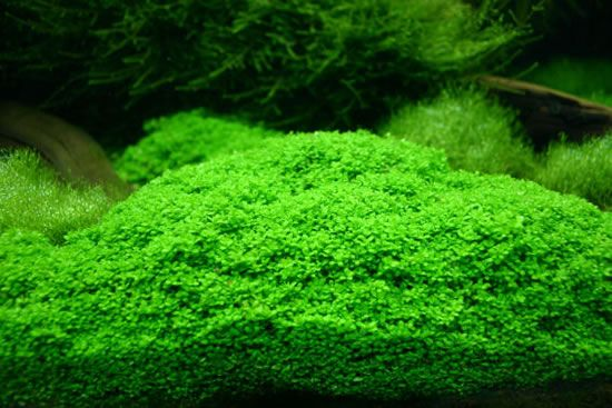 100% working aquarium carpet seeds for planted tank for